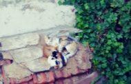 Akçay'ın Kedileri