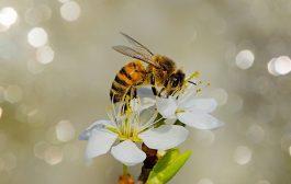 Arı Ülkesinde Bilge Acıbal